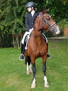 Horse for sale - NOERSKOVS KASHMIR (DNK)