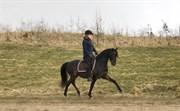 Hest til salg - FESTINA'S EL VALIENTE