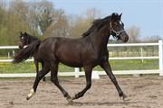 Horse for sale - SKOVLUNDEGÅRDS LA'MOUR