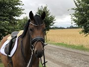 Horse for sale - PRIMROSE TH
