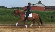 Hest til salg - COSMIC U