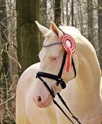 Horse for sale - STENSGAARDENS CAVANOUX