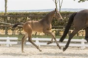 Horse for sale - KALHAVE'S HERO