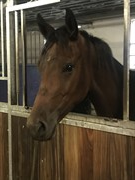 Horse for sale - TOFTEGAARDENS LASALL