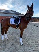 Horse for sale - Lyngdalgårds Lutus