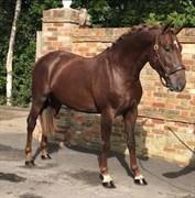 Hest til salg - KENSINGTON VDL