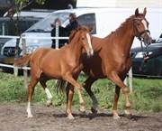 Horse for sale - Morento Højgård