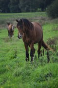 Horse for sale - LUNDENS ADONIS