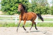 Hest til salg - Royal-Look