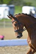 Horse for sale - MØGELMOSES RONALDO