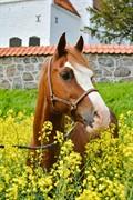 Horse for sale - GWENSIDE CASANOVA