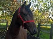 Hest til salg - ZACK AFKOM