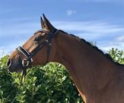 Horse for sale - CHESTER NEXEN