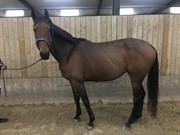 Horse for sale - Lachio