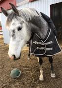 Hest til salg - PRESSIE