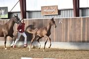 Horse for sale - Hjorth's Rubina
