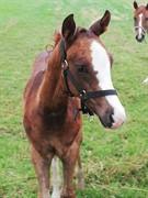 Horse for sale - Stald Schmidts matador