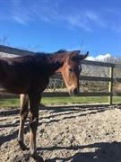 Horse for sale - CS NEYMAR