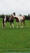 Horse for sale - UNIQUE T