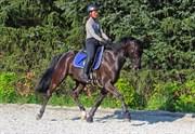 Hest til salg - SVALEGÅRDS REMEE