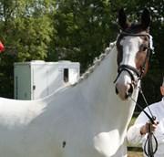 Hest til salg - SØHOLM'S MONTANA