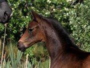 Horse for sale - Hertzchica Grønvang