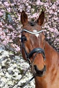 Horse for sale - HIGH SOCIETY