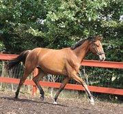 Horse for sale - TANGSGAARD'S BRONESSA C