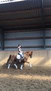 Hest til salg - RICCORIO-LEON P