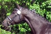 Horse for sale - CANBERRA NEXEN