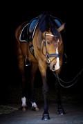 Horse for sale - PINOCCHIO