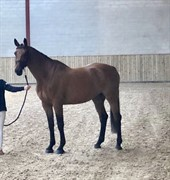 Hest til salg - CELIN 33