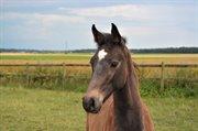 Horse for sale - Ridges Atlas