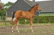 Horse for sale - Iversgaards Raja