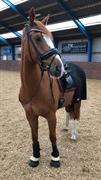 Horse for sale - KOUSTRUPLUND'S DONATELLO