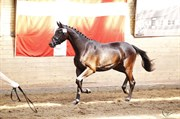 Horse for sale - HILL TOP RIOJA