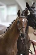 Horse for sale - TJØRNELYS FALCON