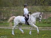 Horse for sale - OLIVER AF DUTTERUP