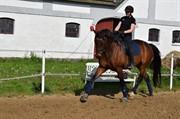 Horse for sale - MONTY AF DANDANELL