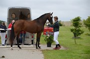 Horse for sale - LYKKE WILMA