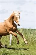 Horse for sale - Kjærgaards Firenze