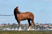 Hest til salg - PRETTY PERFECT SHABÉR