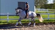 Hest til salg - SAFIRA AJ