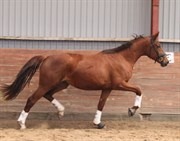 Horse for sale - LEISMANNS ENIGMA