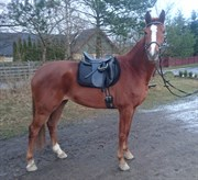 Hest til salg - LINDEGÅRDENS BETTY BLUE