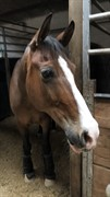 Horse for sale - NICKO