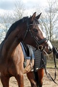 Hest til salg - LÆRKENBORGS TAWONDA
