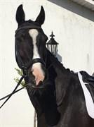 Horse for sale - SAMANTHA GRAVVÆNGE