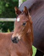 Horse for sale - Dar es Salaam of XLNZ
