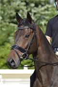 Hest til salg - Monty